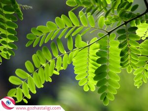 göze akasya yaprakları koyma, akasya yaprakları, göze iyi gelen bitki, göz iltihabına iyi gelen bitki,